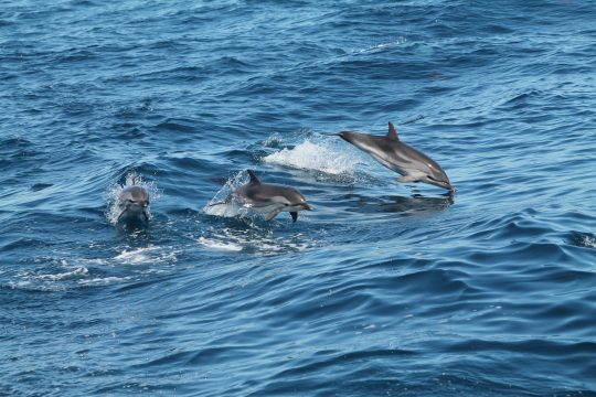 avistamiento de cetáceos, avistamiento de cetáceos en tarifa, avistamiento de cetaceos en zahara
